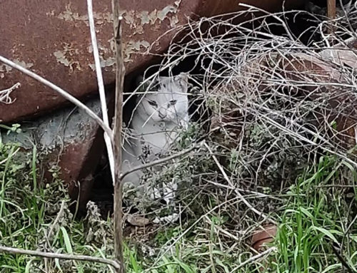 Progat Ginestar denuncia la mort violenta d'un gat d'una colònia controlada