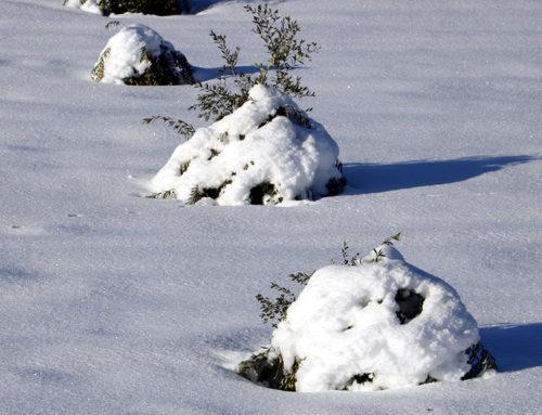 Unió de Pagesos demana un pla de xoc per recuperar la productivitat del 80% d'oliveres danyades a la Terra Alta