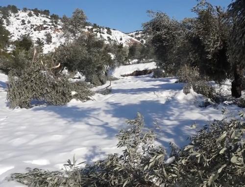 La neu destrossa oliveres a la Terra Alta i fa perillar la collita d'enguany
