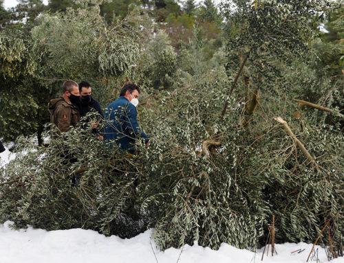 Els oleïcultors de la Ribera d'Ebre avaluen els danys del temporal Filomena que podrien fer perdre fins al 70% de la collita