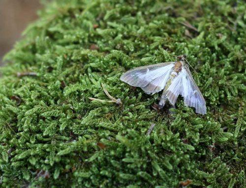 La plaga de la papallona del boix continua expandint-se i arriba per primer cop Baix Ebre
