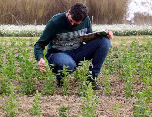 La rotació del cultiu d'arròs amb quinoa permetria frenar les males herbes i diversificar el sector al Delta