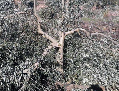 La FCAC demana a Agricultura que rectifiqui la proposta d'ajuts per pal·liar els danys del temporal Filomena