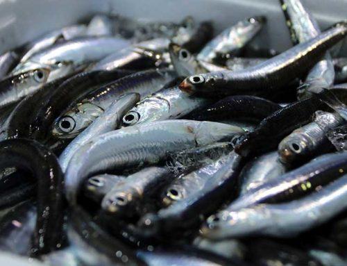 """Les captures de peix blau, sota mínims: """"Les tonyines s'ho mengen tot"""""""