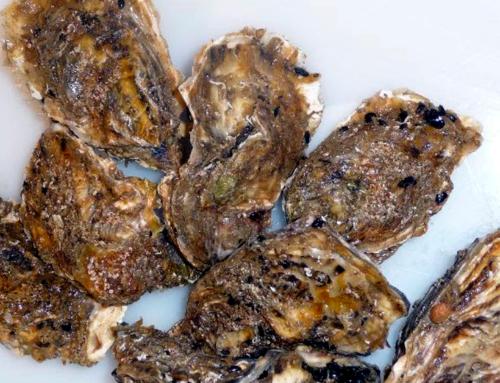 L'IRTA de la Ràpita investiga la resistència antibiòtica en les ostres
