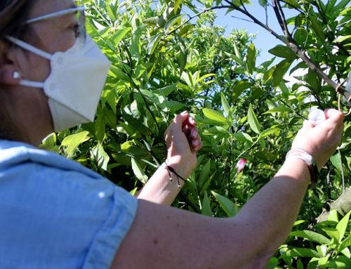L'IRTA introdueix insectes sud-africans per combatre el cotonet als cítrics de les Terres de l'Ebre