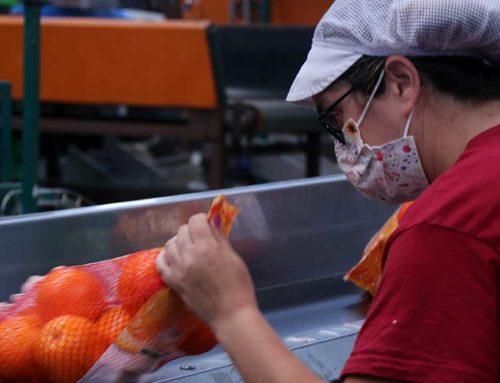Les restriccions a la restauració limiten la comercialització de la producció de cítrics ebrenca a Europa