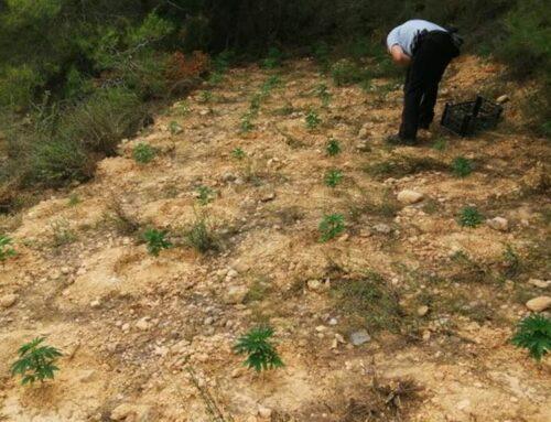 Desmantellada una plantació de 2.200 plantes de marihuana a Móra d'Ebre