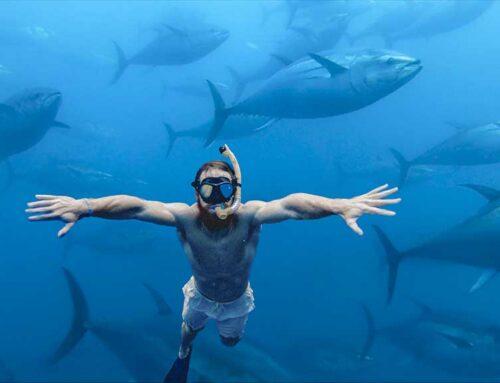 Balfegó preveu més de 20.000 turistes per banyar-se entre tonyines roges