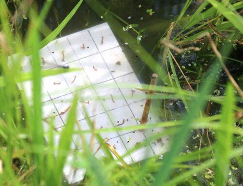 El cultiu ecològic de l'arròs permet un control biològic de la plaga de quironòmids més eficient