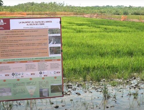 L'IRTA investiga al Delta de l'Ebre com produir arròs resistent al canvi climàtic