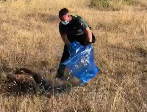 Rescaten un voltor lleonat a la Pobla de Massaluca
