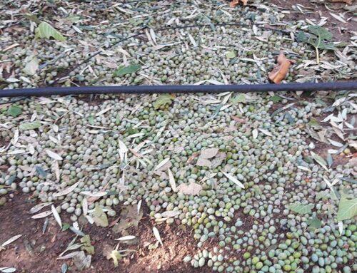 Les tempestes d'aquest cap de setmana danyen conreus de vinya i oliveres a la Terra Alta