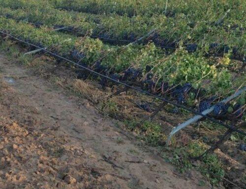 Alerten de l'afectació a la vinya i a tres granges a causa del temporal de dimecres a la Terra Alta
