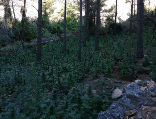 Desmantellen tres plantacions de marihuana amb més de 4.200 plantes a la Terra Alta i la Ribera d'Ebre