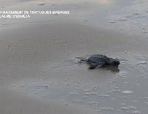 Segon naixement de tortugues babaues a Sant Jaume d'Enveja